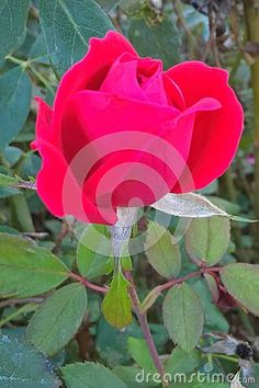 The red rose became the Oklahoma official start flower in 2004. The deep red of the rose is said to represent the blood shed during the forced relocation of the five civilized tribes to Oklahoma in the 1800`s. The rose stands out because of it`s fragrance and beauty. Peak season for the rose is June.