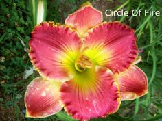 Circle of Fire (Grace-Smith, 2005) height 32in (81cm), bloom 6in (15.0cm), season EM, Rebloom, Semi-Evergreen, Tetraploid, Fragrant, 28 buds, 4 branches, Pink with yellow edge above green throat. (Belle Cook × Linda's Magic)