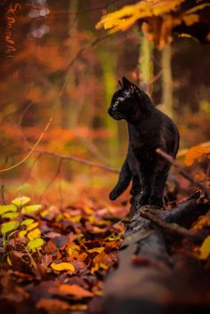 Black cat in forest - Animal Art Warrior Cats, Beautiful Cats, Animals Beautiful, Cute Animals, Animals Images, Pretty Cats, Crazy Cat Lady, Crazy Cats, I Love Cats