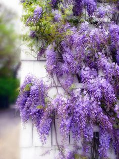 Wild wisteria, would look great over the gazebo