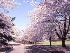 токио красивые фото весной - Поиск в Google