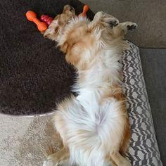 コンバンミ🐶🐶🙌 母、仕事から帰たら笑福くんが労いの舞いを踊てくりたど~~(笑)  #ゴールデンレトリバー#ゴールデンレトリーバー#goldenretriever#GOLDENRETRIEVER#大型犬#犬バカ部#いぬばか部#愛犬#愛息#兄弟#多頭飼い#兄#百福#百やん#ねて福#弟#笑福#笑やん#ジャイアントベイビー#しょふく#スリスリダンス#母への#労いダンス#いや、やぱり#おにーやんへの#アピールダンス#2017.4.13