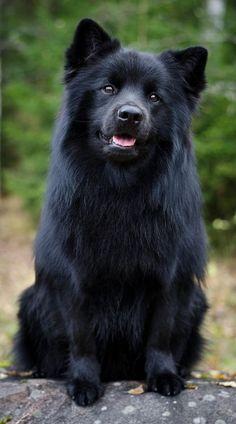 Lapphund sueca; simplemente impresionante - El Pastor lapón de Suecia es una raza de perro tipo Spitz. De origen sueco es una de las tres razas de pastor lapón desarrolladas desde un tipo de perro criado por el pueblo Sami para la caza y guarda de sus renos.