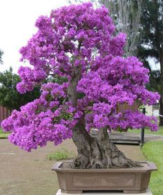 Bonsai Tree Ideas A Guide To Bonsai Trees For Beginners Bonsai Tree Ideas. The art form of bonsai can be a wonderful and unique hobby. Viewing and taking good care of a bonsai collection can be a r… Bougainvillea Bonsai, Bonsai Plants, Bonsai Garden, Bonsai Trees, Ikebana, Plantas Bonsai, Miniature Trees, Growing Tree, Small Trees