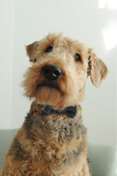 "apostrophe9: "" I love Airedales….'9 pierreponthicks: "" Adrienne's pup is wearing our Tykes bow. Pretty dapper. "" """