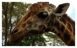 The AFEW (African Fund for Endangered Wildlife) Giraffe Centre is located in Langata, just outside Nairobi. The centre has been ostensibly set up as a breeding centre for the endangered Rothschild giraffe, but now operates conservation/education programs for Kenyan school children.