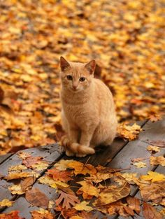 sometimes autumn is the color of a cat  -This kitty looks just like my little Sammy cat! He's a sweet boy! ♥♥♥