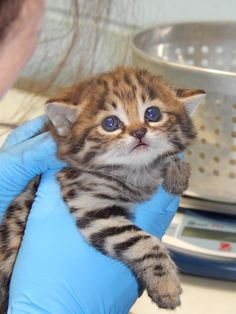 Black-footed cat kittens arrive at the Philadelphia Zoo