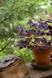 purple shamrock, oxalis regnellii  This happy-go-lucky plant seems content to be anywhere. You can grow Purple Shamrock indoors year-round, or move it outside on a shady patio for the summer.