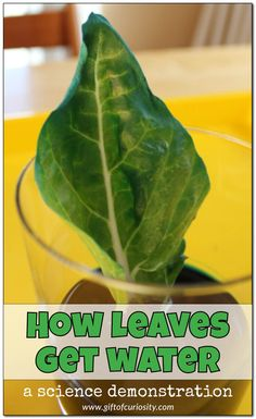 How leaves get water: This simple science activity demonstrates very clearly how leaves take up water their through veins and then distribute it to the entire leaf. || Gift of Curiosity