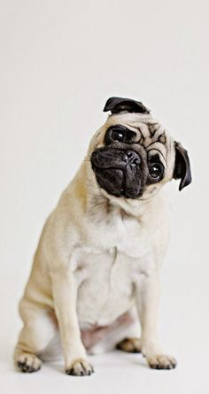 ↑↑TAP AND GET THE FREE APP! Animals Dog Pug Cute White Pretty Simple HD iPhone 6 Wallpaper