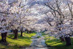 猪苗代町を流れる観音寺川。桜を愛でながら川に沿って散策。楽しい時間でした。(2015.4.26)