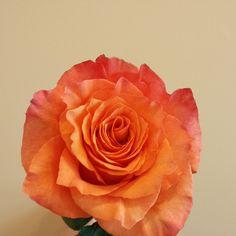 Rose free spirit.  #florist #florists #flower #flowers #perrifarms #wedding #weddings #ecuador #floral #cutflower #cutflowers #roses #rose