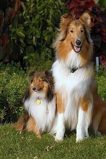 Sheltie and Collie. For those people who ask me if my Collie is a Sheltie, LOL!