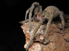 Brazilian Wandering Spider - holds the Guinness World Record as the world's most venomous spider on Earth