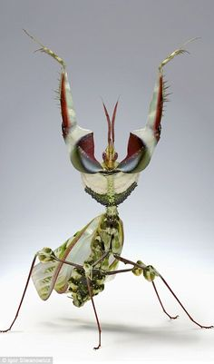 Be warned, these insects are actually performing deadly threat display...