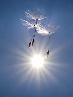 Drei Löwenzahn-Samen schweben am Rande von Groß-Karben im hessischen Wetteraukreis in der Luft.  QUELLE: dpa