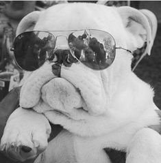 5 Crazy Bulldog Facts That Will Blow Your Mind ~ The Pet's Smarty Bulldog Puppies, Cute Puppies, Cute Dogs, Dogs And Puppies, Terrier Puppies, Boston Terrier, Baby Animals, Funny Animals, Cute Animals