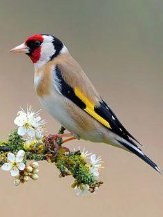 European goldfinch on sloe blossom