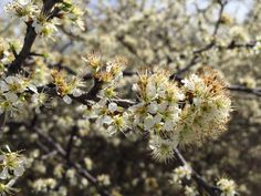 2015 - Fragrant wild plum trees are blossoming at Ray Roberts Lake State Park near Denton