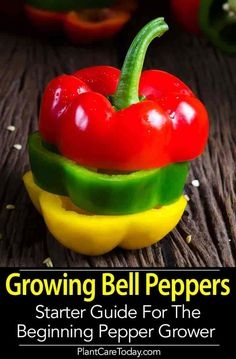 Growing Tomatoes Gardening beginners would definitely enjoy the ease of growing bell peppers. The whole process won't take too much time and space! - Planting choice for gardening beginners? Growing bell peppers won't take too much time and space! Growing Tomatoes, Growing Vegetables, Gardening Vegetables, Herb Gardening, Kitchen Gardening, Gardening Courses, Gardening Gloves, Gardening Books, Urban Gardening