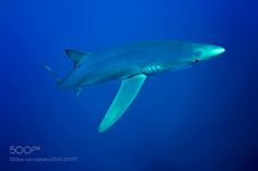 Blue Shark-Requin bleu (Prionace glauca) by vpommeyrol #nature #photooftheday #amazing #picoftheday #sea #underwater