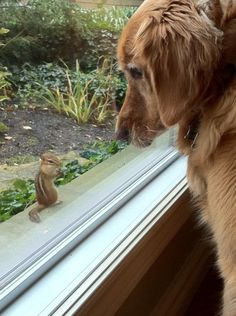 Chipmunk teasing with the safety of a window.