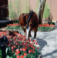 Clydesdale Horses, Big Horses, Chestnut Horse, Draft Horses, Beautiful Horses, Equestrian, Animals, Tulips, Awesome