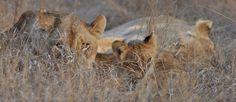www.sunsafaris.com #africa #on #foot #wildlife #kruger #klaserie #lions #ross #pride #cubs #lioness #south #africa #animals