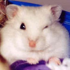 hamsters - Google Search