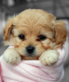 This little pup! Puppies And Kitties, Cute Puppies, Cute Dogs, Doggies, Cute Baby Animals, Animals And Pets, Animals Images, Funny Animals, Pocket Dog