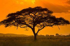 photos of africa An acacia tree, Serengeti National Park, Tanzania Blaine Harrington . Acacia, Tanzania, Kenya, African Tree, African Sunset, Serengeti National Park, Lone Tree, Out Of Africa, Tree Silhouette