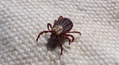 It is crucial to be aware of the risks that ticks pose to your family and pets, as well as how you can protect yourself from their dangerous bites. Tick Bite, Ticks, Urdu News, Fitness, Natural Treatments, Insects, Allergy Reactions, Malaysia, Baking Soda