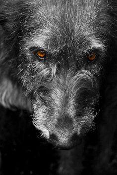Irish Wolfhound : Photo by Gavin Lang jun 16th 2013, Canon Rebel T4I