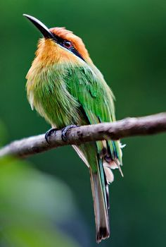 Malawi - Liwonde National Park: Striking Bea-eater by John & Tina Reid