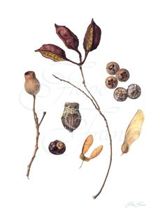 Botanical Illustration. Seeds and pods. Limited Edition Giclée Prints available for purchase at http://www.filipefranco.com/#!shop-being-updated/c12vn