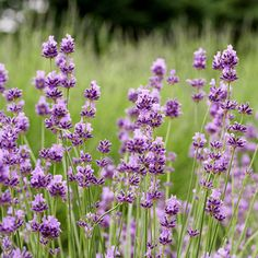 'Croxton's Wild' Lavender - Lavandula Angustifolia 'Croxton's Wild' is a close relative to the lavenders that grow in the wild in the Mediterranean region. It grows 24 inches tall and 36 inches wide. Zones 5-8.