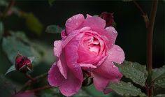 Rose mit Regentropfen - Jahreszeiten - Galerie - Community