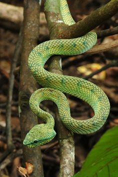 Pit Viper Borneo Snake Photos, Pit Viper, Kuching, Reptiles And Amphibians, Borneo, Zoo Animals, Lizards, Snakes, Slytherin