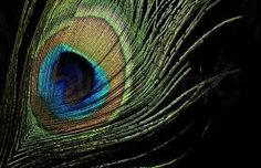 peacock feather ile ilgili görsel sonucu