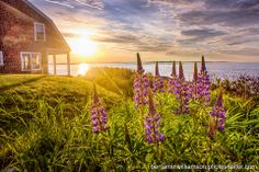 Lupines on the Coast of #Maine -   photo by Benjamin M. Williamson Photography Like