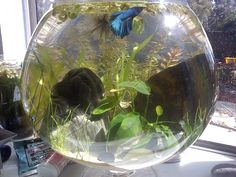 4 gallon betta bowl, aprox $20: heated, filtered, live plants, marimo ball.