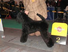 Hadiya Kerrydomcourt Kerry Blue Terrier  by Kennels @ Loukerry.de