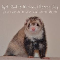 Happy National Ferret Day! April 2nd is National Ferret Day!  Please consider making a donation to your local ferret shelter.  Here is the link to a great no-kill ferret shelter here in Pittsburgh, PA http://hide-e-hole.com/