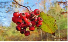 How to identify hawthorns, harvest the berries, and use them to make an alcohol extract: http://ouroneacrefarm.com/hawthorn-berries-identify-harvest-make-extract/