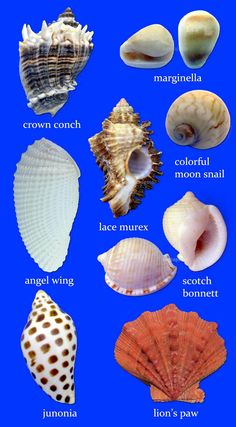 Sancapstar# Shell Guide# Page 8 Seashell Ornaments, Seashell Art, Seashell Crafts, Beach Crafts, Starfish, Seashell Identification, Seashell Projects, Shell Collection, Shell Beach