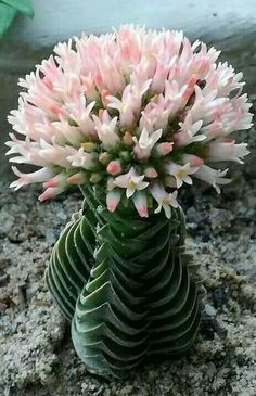21 Best Rare Plants Houseplant - fancydecors Gorgeous flower blossoms are even more precious when they're borne on rare or endangered plants. Endangered everywhere on earth Succulents For Sale, Cacti And Succulents, Planting Succulents, Planting Flowers, Potted Plants, Cactus Plants For Sale, Flowers Garden, Unusual Plants, Rare Plants