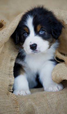 Adorable Australian Shepherd Puppy !
