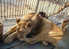 animais em circo - Pesquisa Google