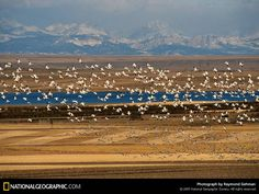 Amazing Snow Geese at Freezeout Lake near Fairfield, Montana.